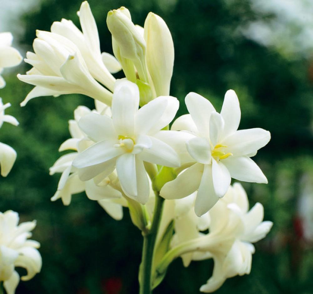 Tổng hợp những hình ảnh về hoa huệ trắng đẹp nhất